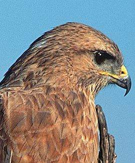 Steppe Buzzard. Nigel Dennis