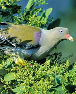 African Green Pigeon.