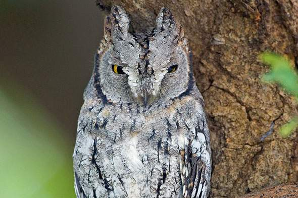 Night Owls May Face Special Challenges >> Kruger Park Birding Owls And Owlets Birding Raptor Guide