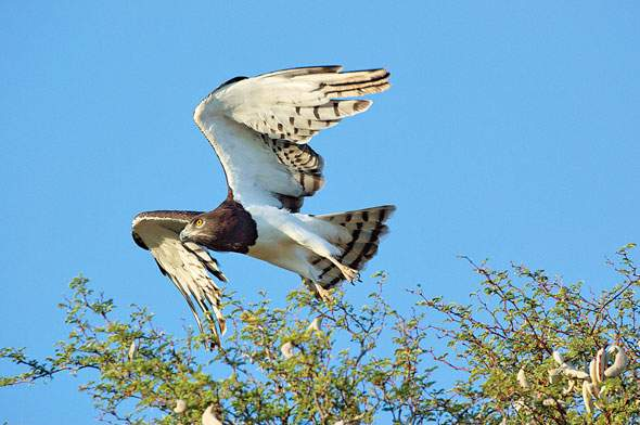 Black-chested Snake-Eagle.