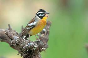 Golden-breasted bunting.