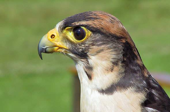 The Lanner Falcon.