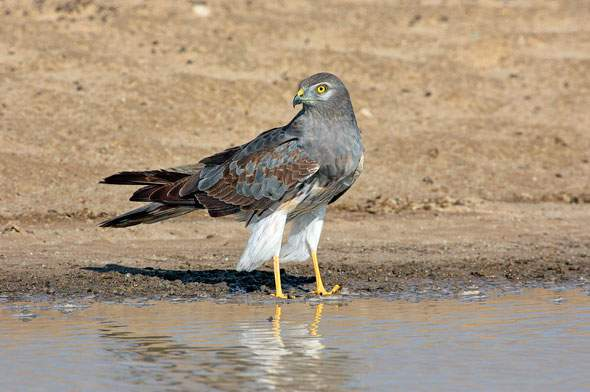 Montagu's Harrier.