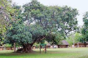 Indaba Tree at Pretoriuskop Camp.