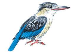 Striped Kingfisher.
