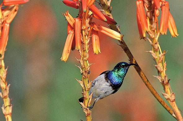 White-bellied Sunbird.