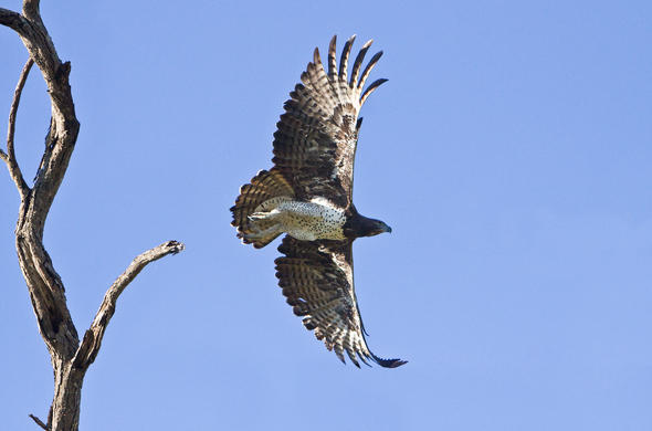 Martial Eagle in flight.