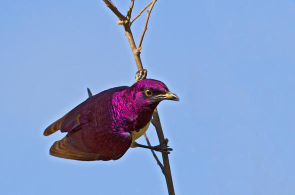 Plum Coloured Starling in Kruger National Park.