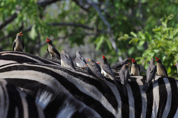 Red Billed Oxpeckers in Kruger National Park.