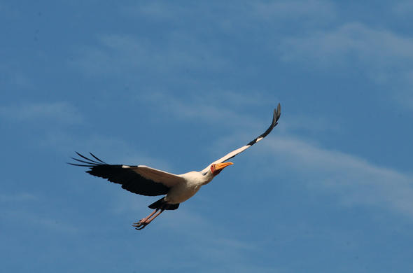 Yellow billed stork in Kruger National Park, South Africa.